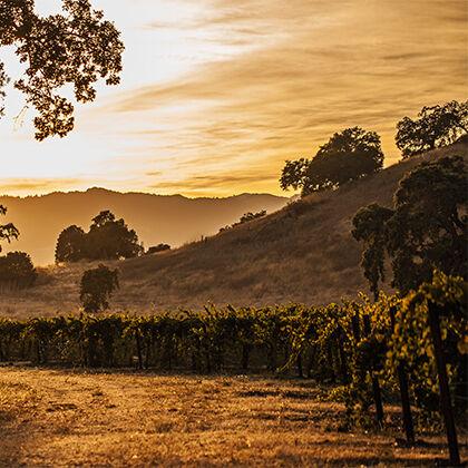 Beringer Vineyard