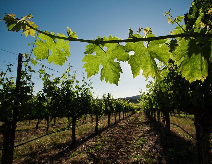 Beringer Knights Valley Vineyard