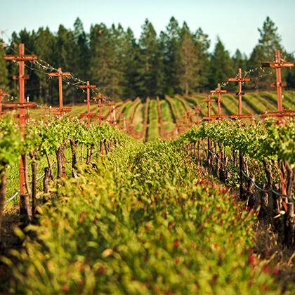 Beringer Vineyard Cover Crop
