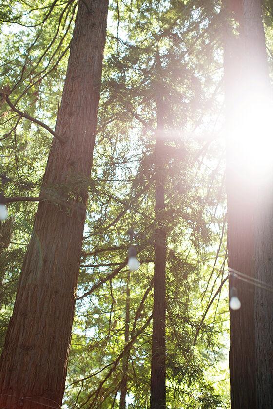 Redwood grove at Beringer