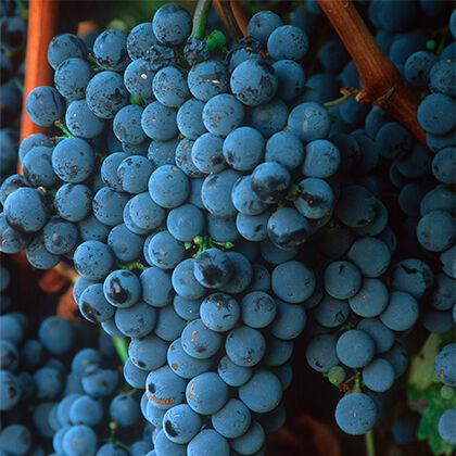 Cluster of Beringer Grapes