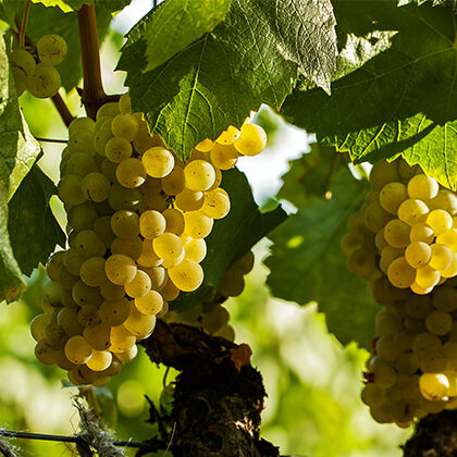 Beringer Grape Cluster
